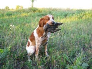 собака - охотник