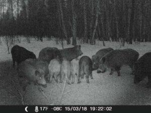 Кабаны в охотхозяйстве ВОО ПриВО 2018