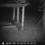 Фотоловушка на кабана