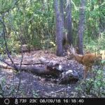 охота на оленя в самарской области
